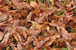 Chestnut burrs and leaves return to the earth