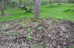 Orchard tree with new guild planting under it