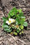 """Sand strawberry"", Fragaria chiloensis - N,P"