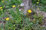 """Dandelion"", Taraxacum officinale - NN,P,B"