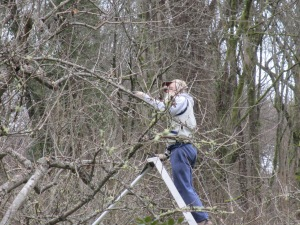 "Bruce MacLean is pruning his ""adopted"" King apple tree."